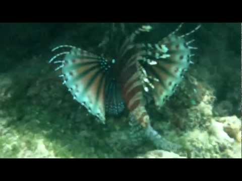 Up close with a lion fish and clown fish in Borneo