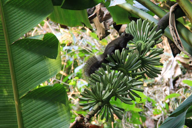 A giant squirrel in Cuc Phuong National Park, Vietnam