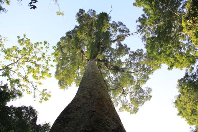A giant tree in Cuc Phuong National Park, Vietnam