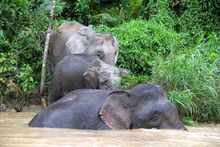 Elephant family in Sukau, Malaysia