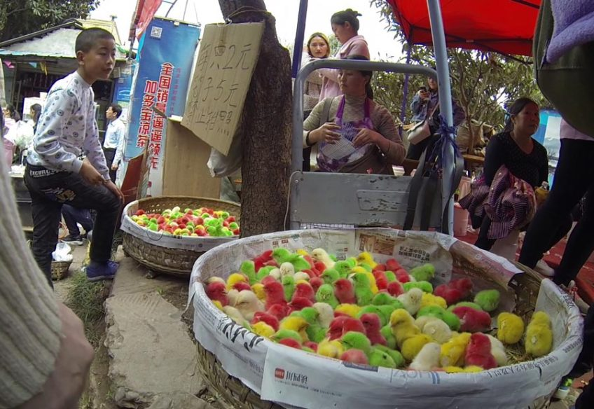 Dyed chicks at the Longquan Peach Blossom Festival